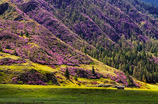 Decoration of heather rosebay flowers. VIP tour to Altai.